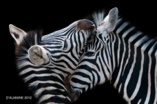 Two zebra interact